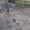 kitty vs chicky