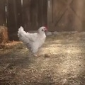 Chick has a trick