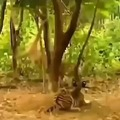 Big cat vs brazilian